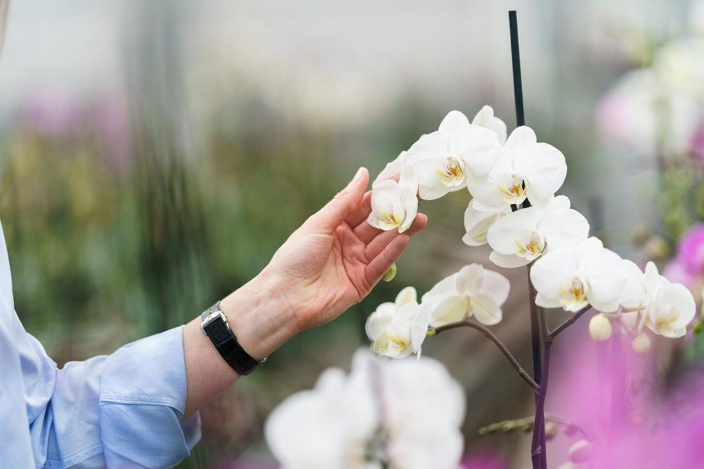 Hark Orchideen - Qualität von Orchideen erkennen