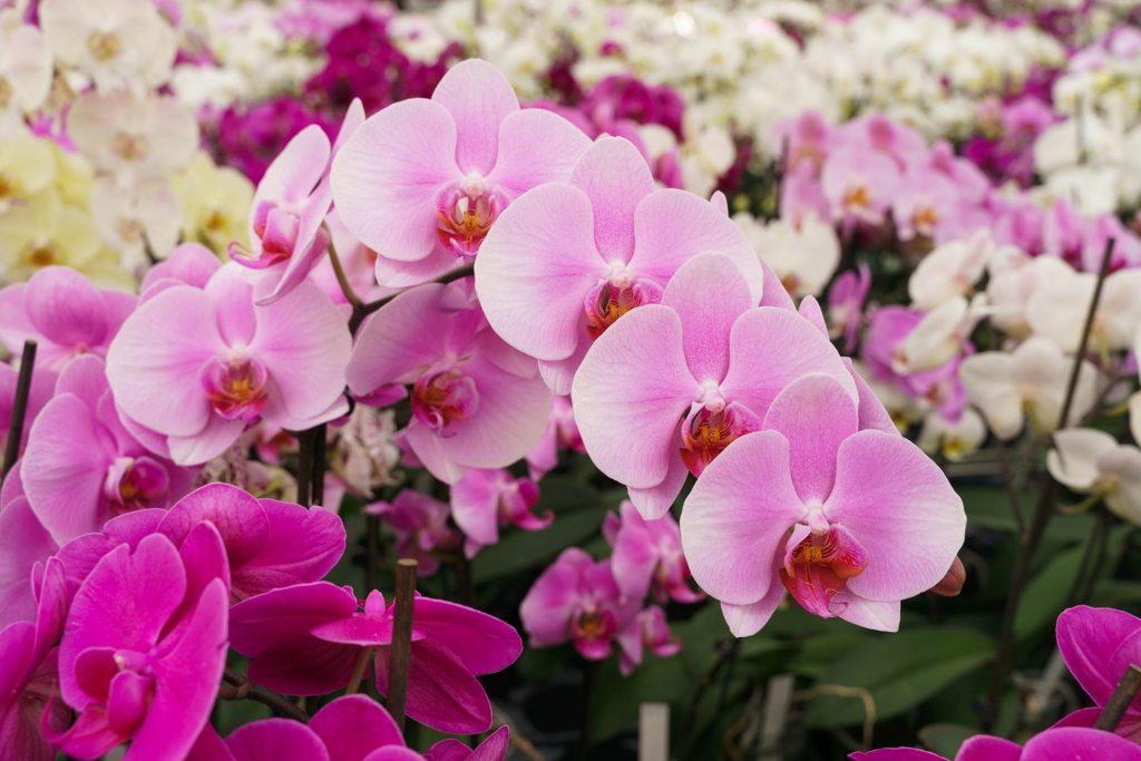 Hark Orchideen - Schädlinge