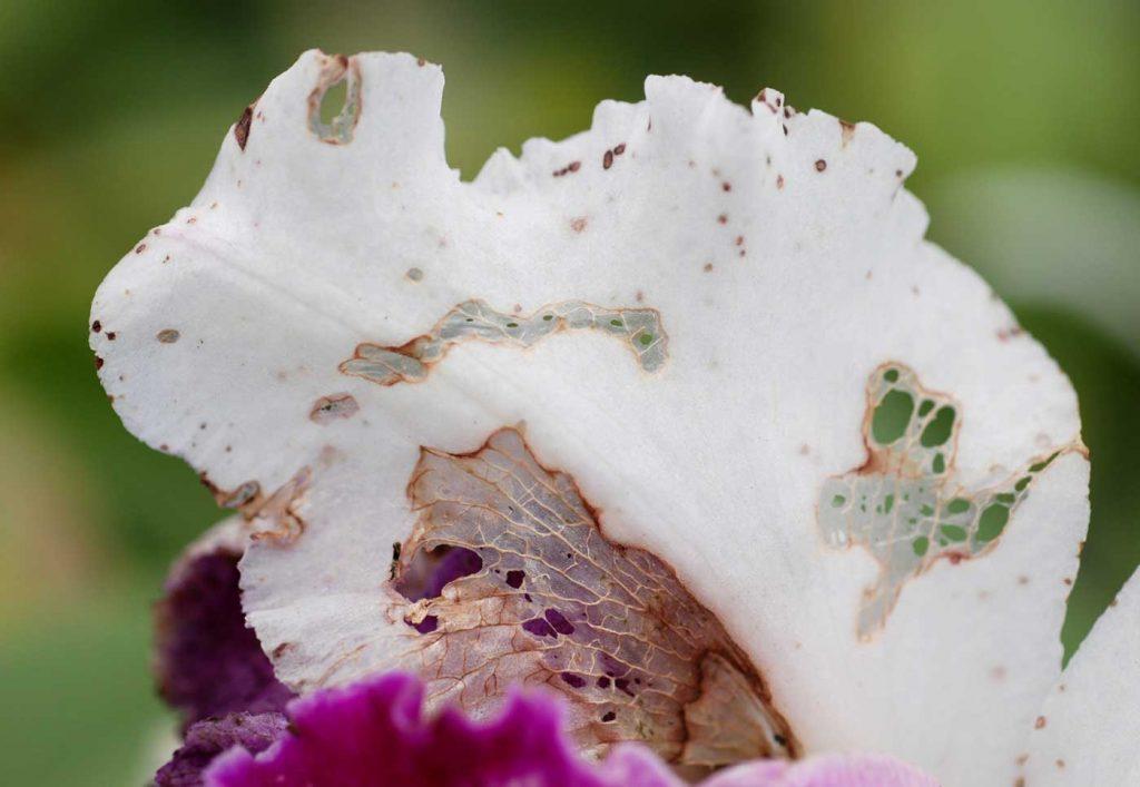 Cattleya: schraap schade op bloemen door slak - © Holger Nennmann