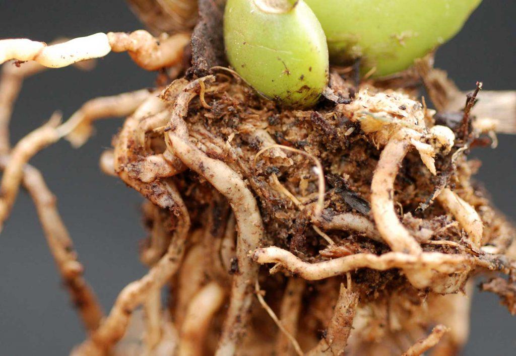 Colmanara: Rhizoctonia solani, wortel rot - © Holger Nennmann