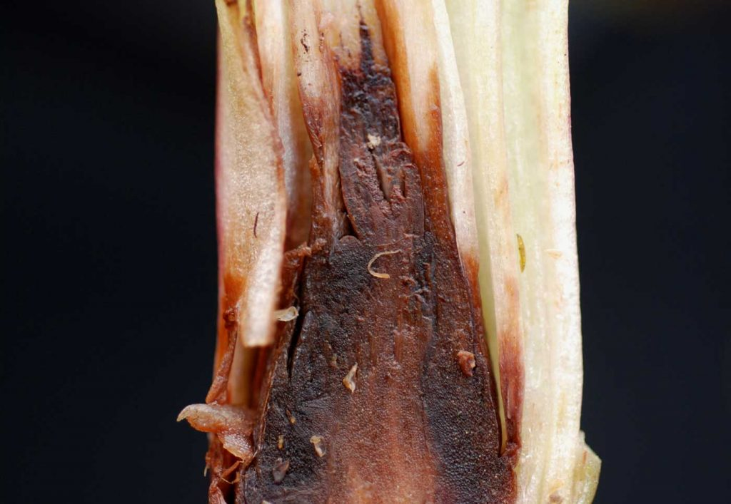 Disa: Phytophthora stengel rot - © Holger Nennmann