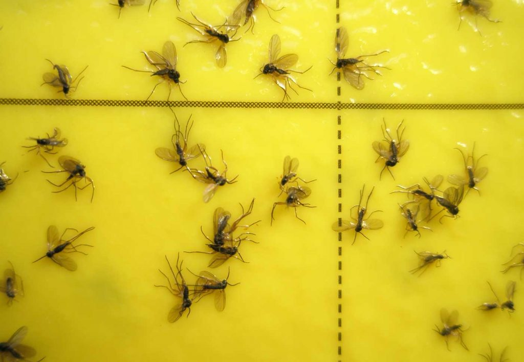 Rouwmug (Sciara) op gele vangplaat - © Holger Nennmann