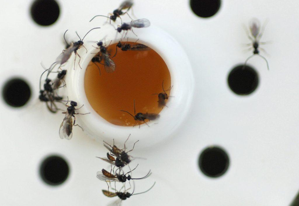 Bladluis-sluipwespen in een kweekbuisje - © Holger Nennmann