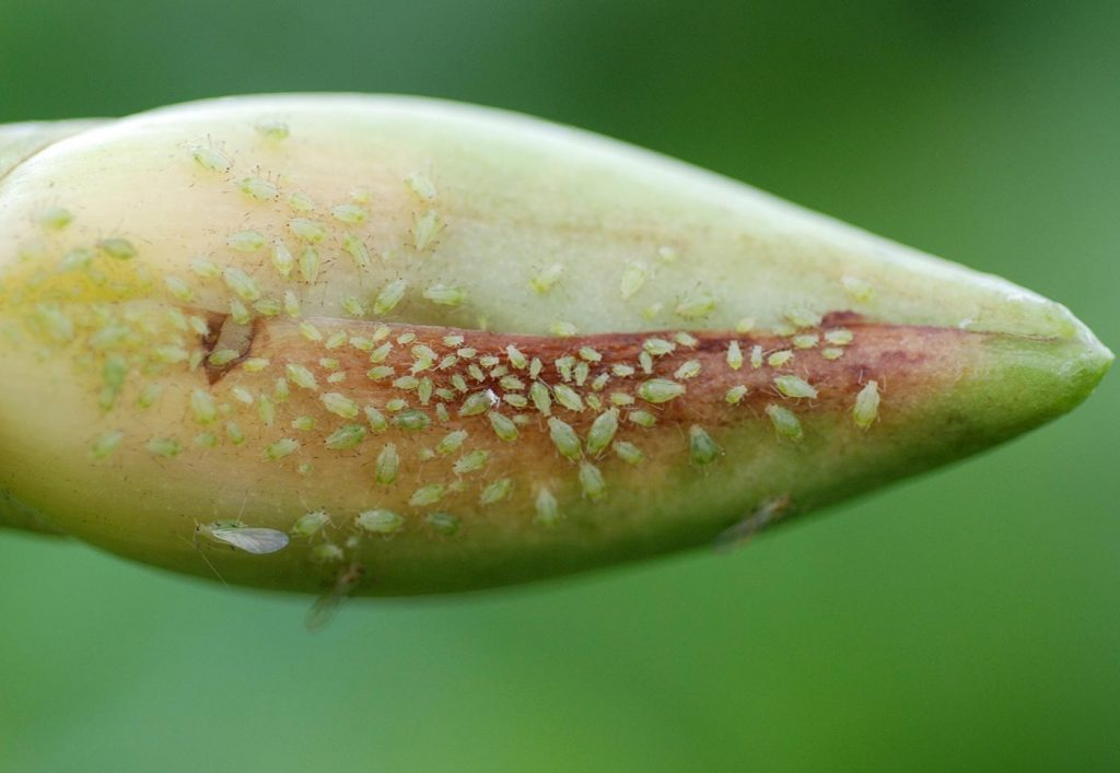 Lycaste: bladluis op een bloemknop - © Holger Nennmann