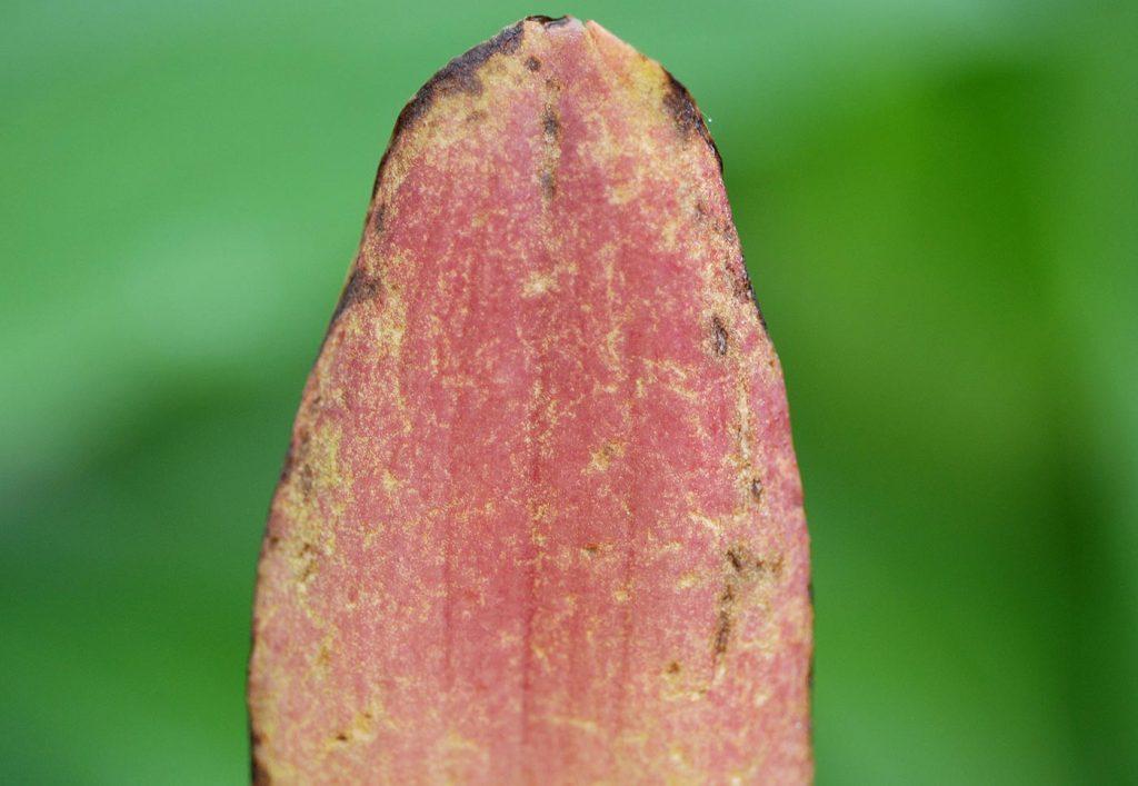 Lycaste: bladschade veroorzaakt door bladluis - © Holger Nennmann