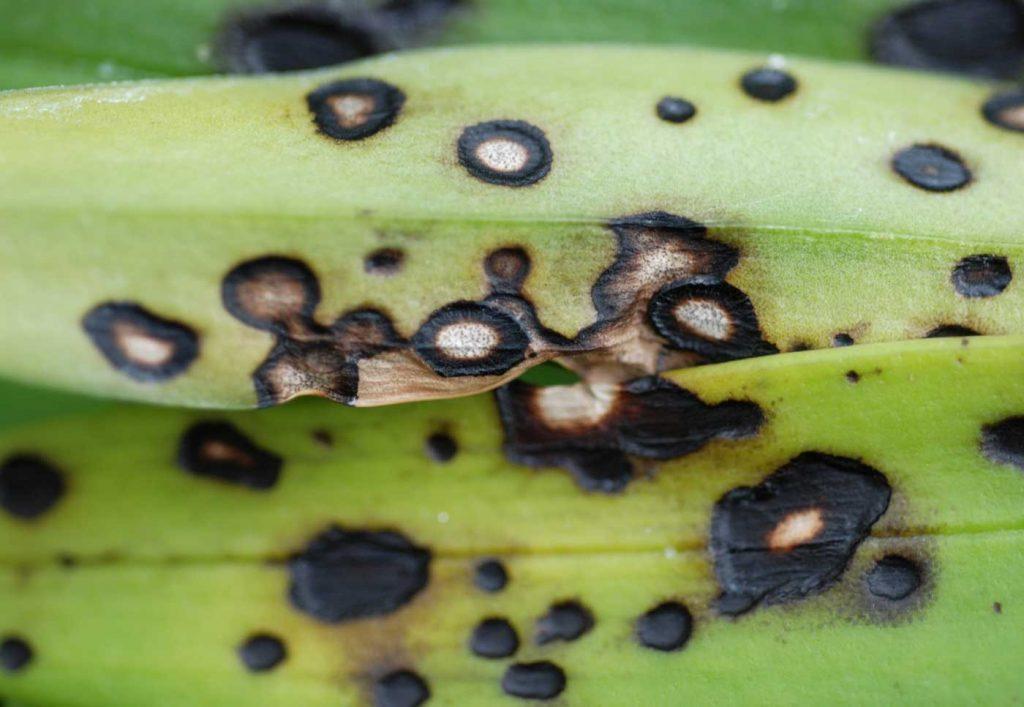 Masdevallia: Colletotrichum blad vlekken - © Holger Nennmann