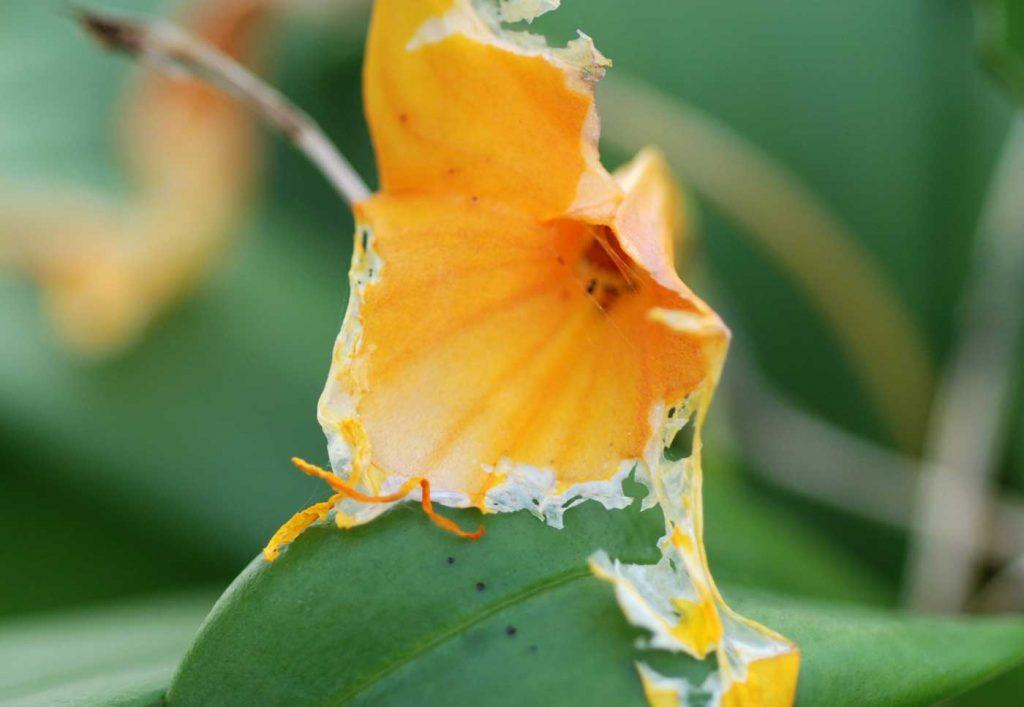 Masdevallia: vraatschade veroorzaakt door een rups - © Holger Nennmann