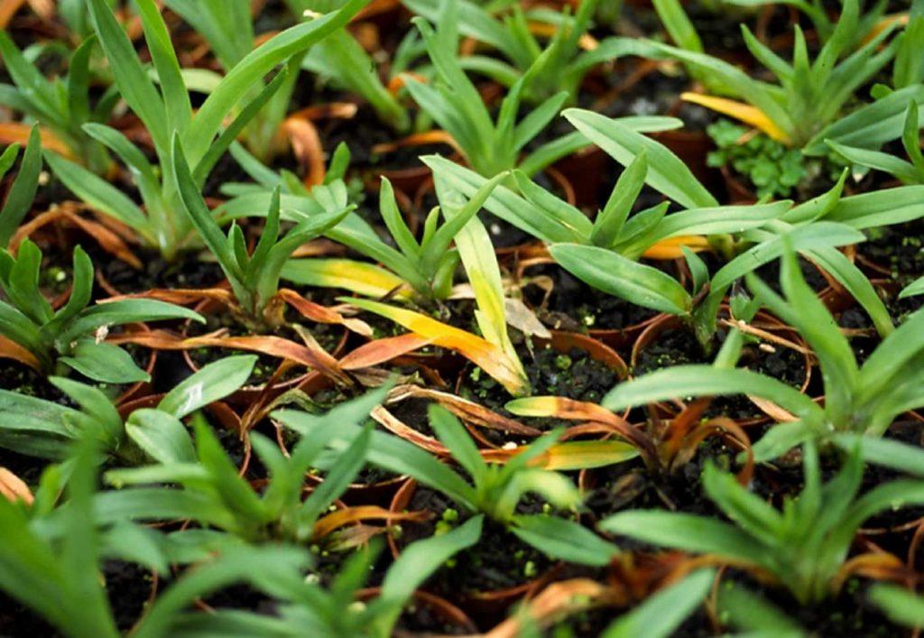 Miltonia: Rhizoctonia solani, wortel rot op jonge planten - © Holger Nennmann