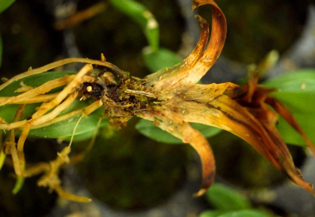 Miltonia: Lyprauta in jonge planten - © Holger Nennmann