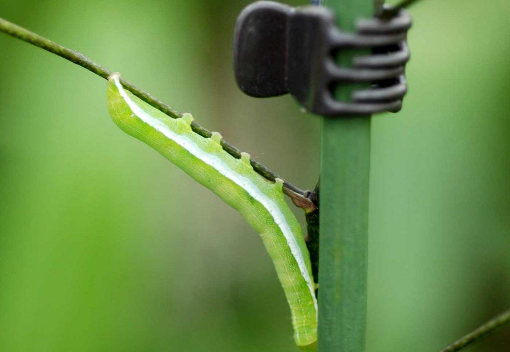 Oncidium: rups op bloem stengel - © Holger Nennmann