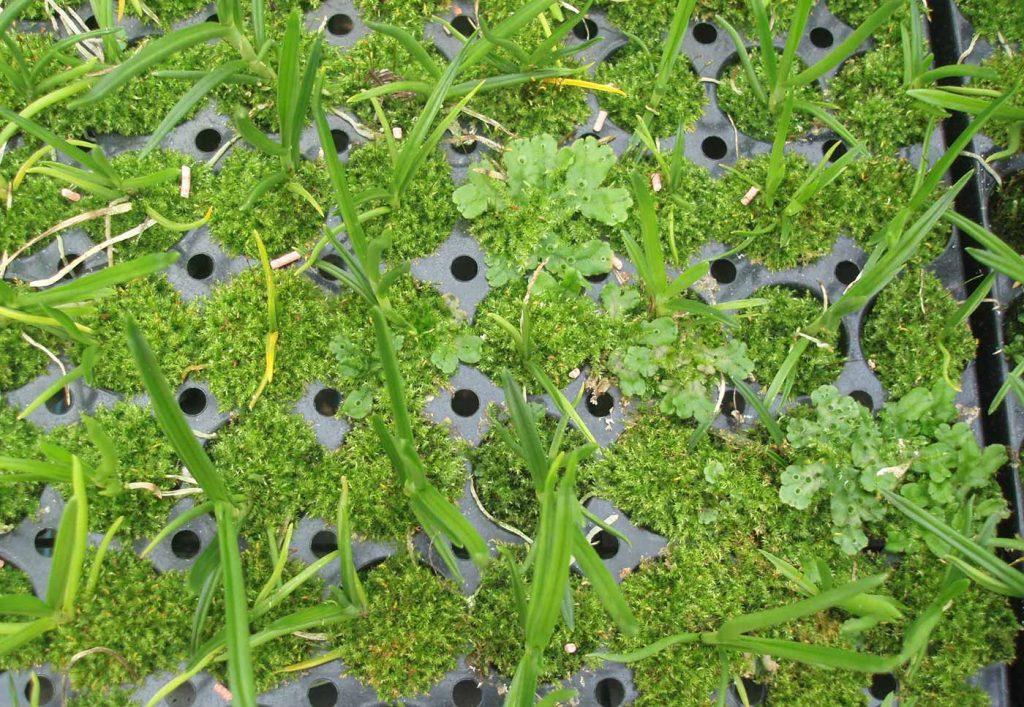 Cambria: mos op jong planten - © Holger Nennmann