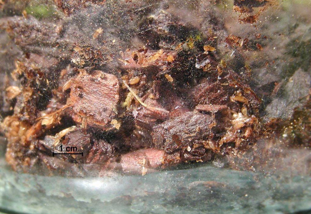 Lyprauta (Orfelia) larve - © Hark