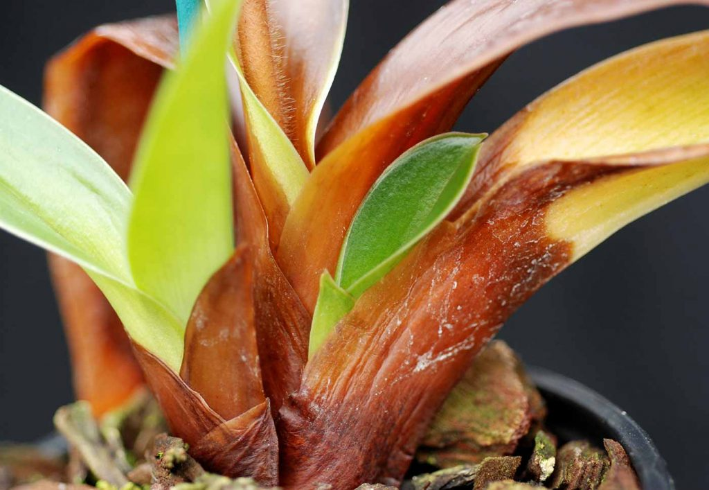Paphiopedilum: Erwinia cypripedii op blad basis - © Holger Nennmann