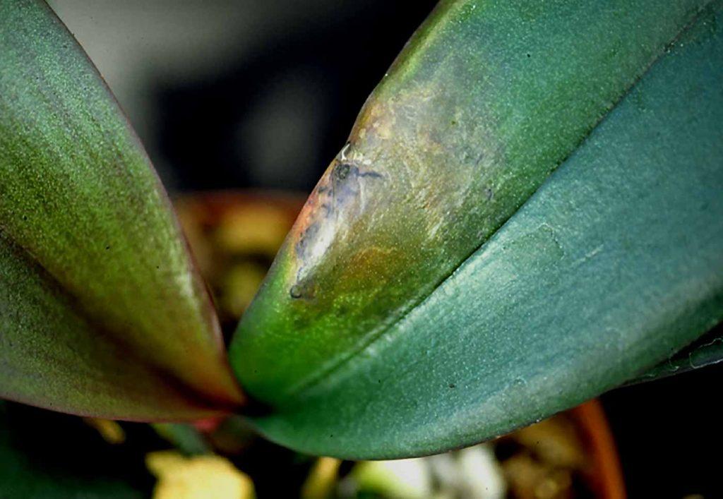 Phalaenopsis: Erwinia nat rot - © Holger Nennmann