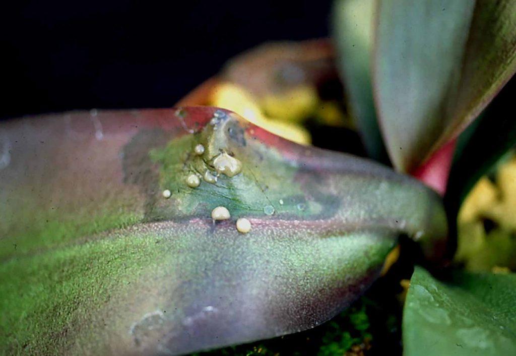 Phalaenopsis: Erwinia nat rot met besmettelijk bacterie slijm - © Holger Nennmann