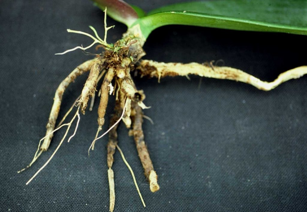 Phalaenopsis: Pythium wortel rot op jonge planten - © Holger Nennmann