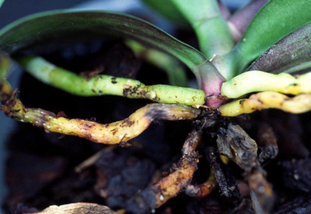Phalaenopsis: wortel rot, Fusarium oxysporum - © Holger Nennmann