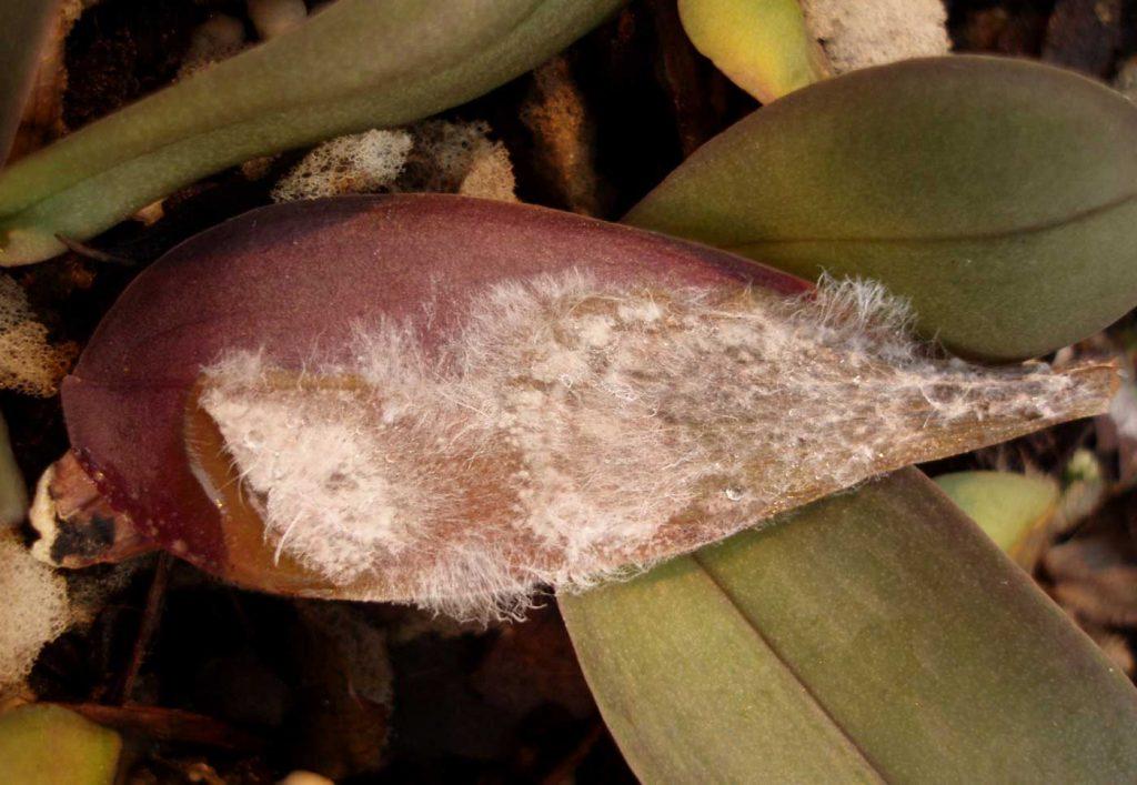 Phalaenopsis: Sclerotium rolfsii in jonge planten - © Holger Nennmann