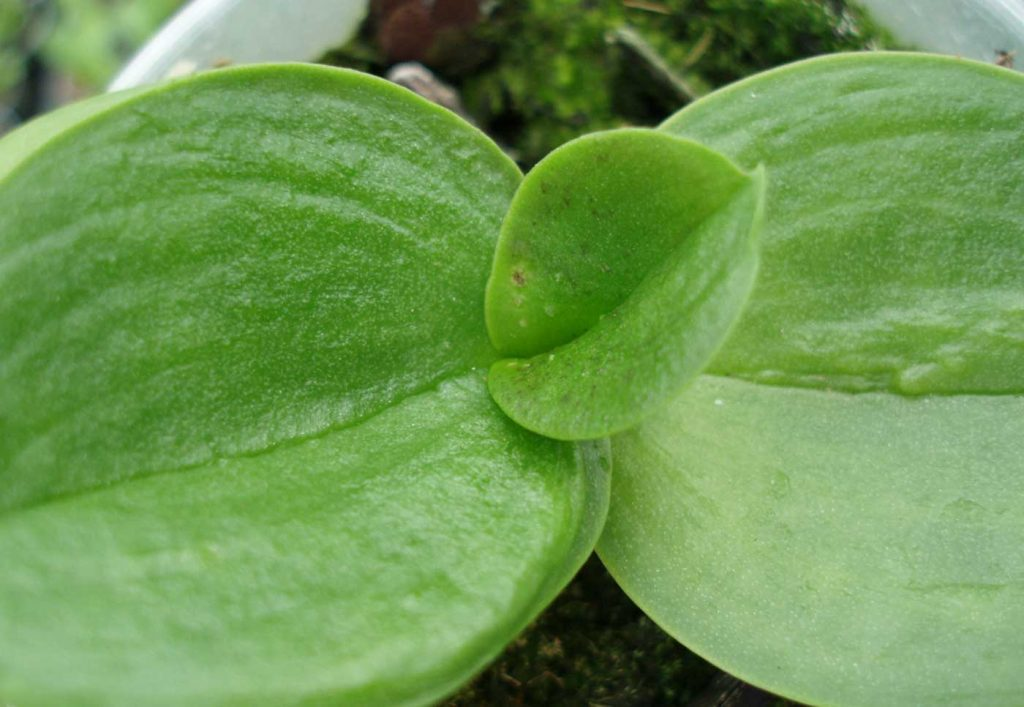 Phalaenopsis: Weekhuidmijt - © Holger Nennmann