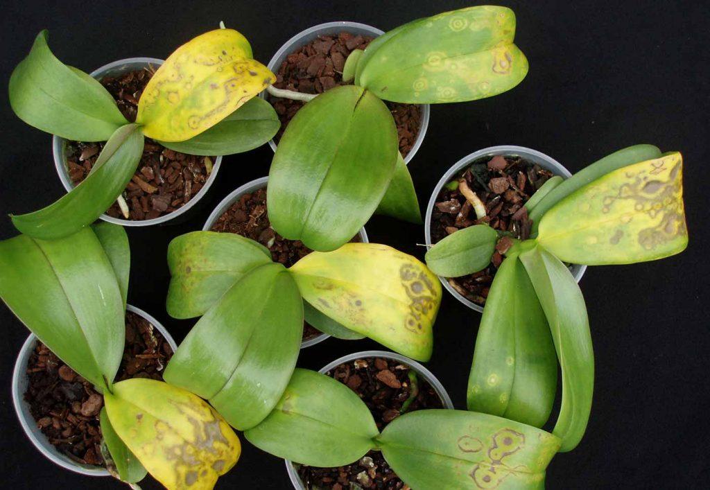 Phalaenopsis: Tospo-Virus - chlorotische ringen patroon - © Holger Nennmann