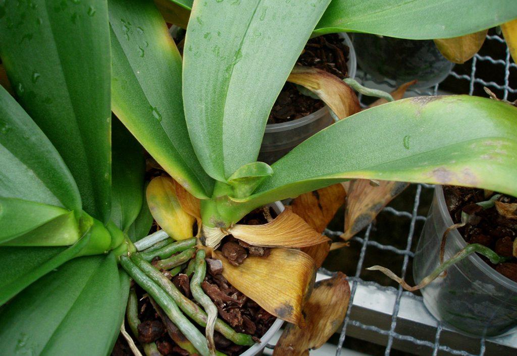 Phalaenopsis: valse spintmijt (Brevipalpus sp.) - © Holger Nennmann