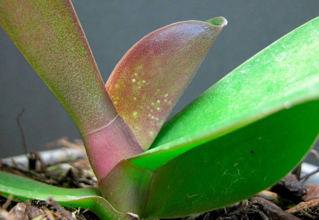 Phalaenopsis: schade veroorzaakt door mosmijten - © Holger Nennmann