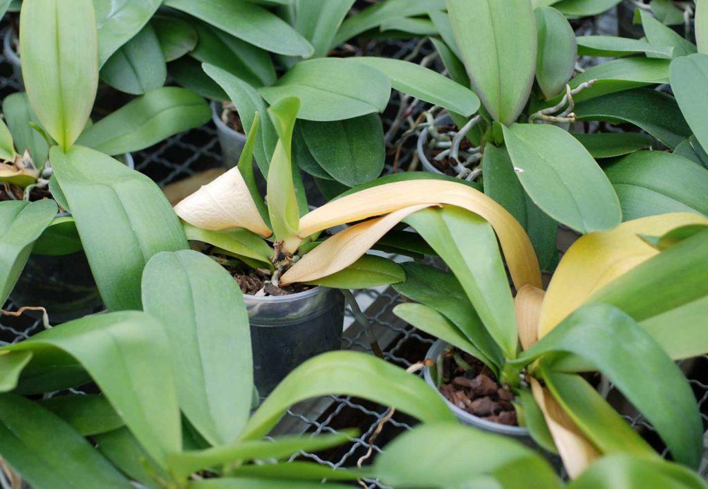Phalaenopsis: Fusarium rot op bladbasis - © Holger Nennmann