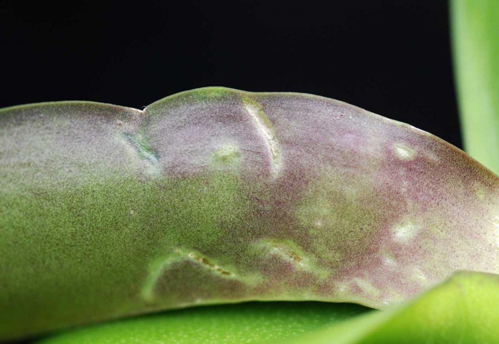 Phalaenopsis: Trips - © Holger Nennmann
