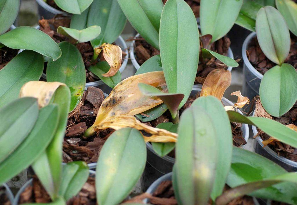 Phalaenopsis: Acidovorax avenae, blad vlekken - © Holger Nennmann