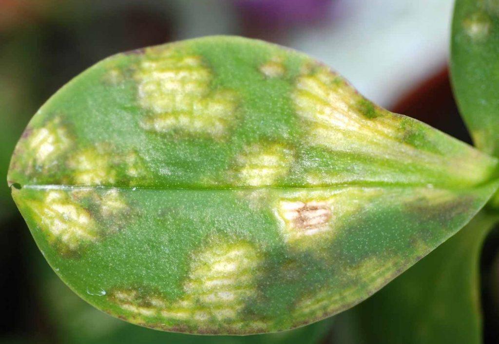 Phalaenopsis: Rhabdovirus (Orchidee vlekken virus) - © Holger Nennmann