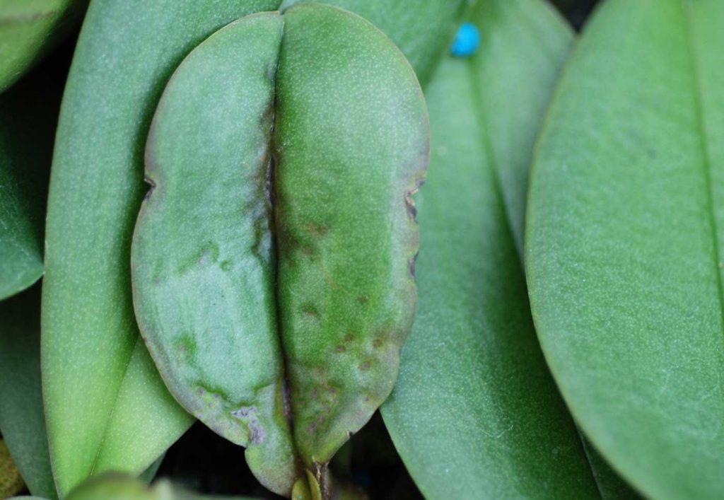 Phalaenopsis: Rhizoctonia solani, blad symptomen - © Holger Nennmann