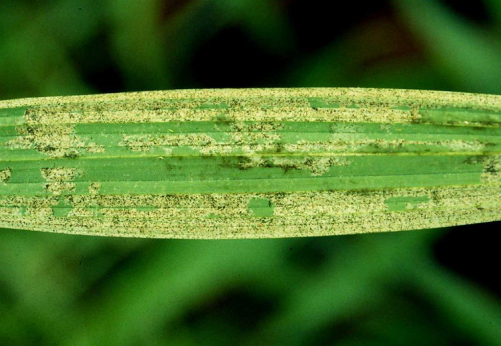 Spathoglottis: Amerikaanse Trips (Echinothrips americanus) - © Holger Nennmann