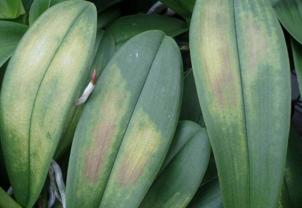 Phalaenopsis: te lage temperaturen in de koeling - © Holger Nennmann
