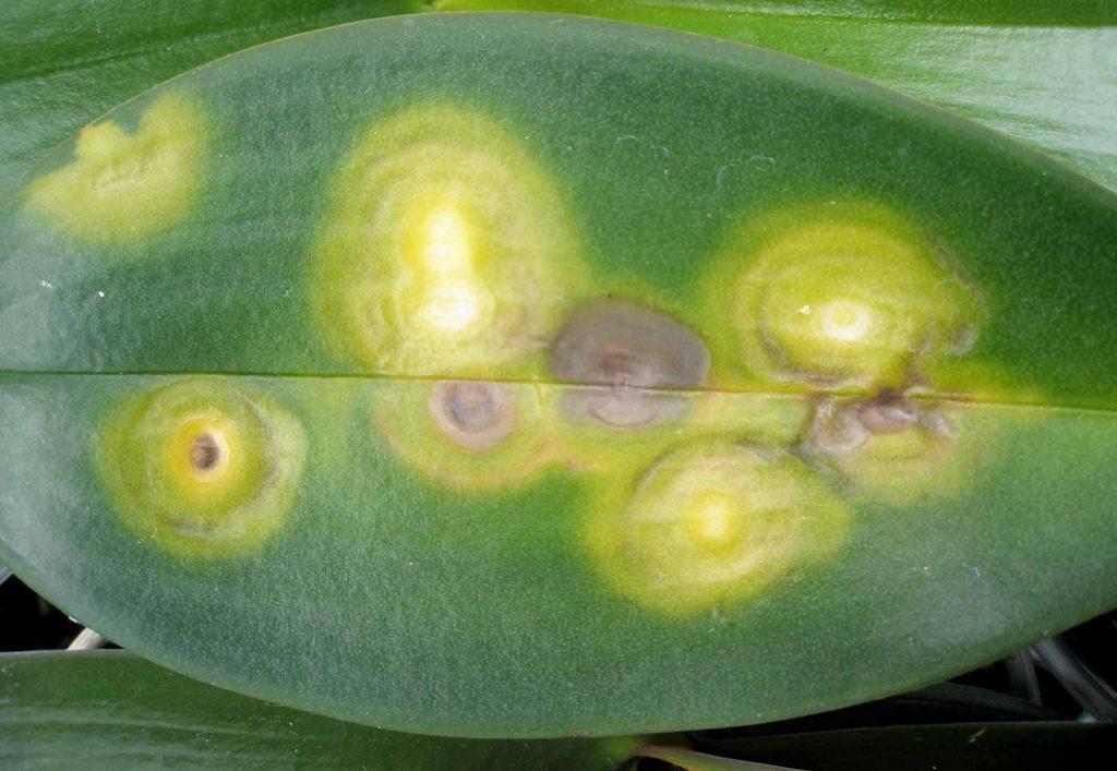 Phalaenopsis: chlorotisch ringen patroon, verbrandingsgassen, geen virus - © Holger Nennmann