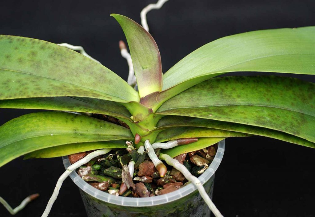 Phalaenopsis: donkere vlekken in bladweefsel, cultivar-specifiek, geen virus - © Holger Nennmann